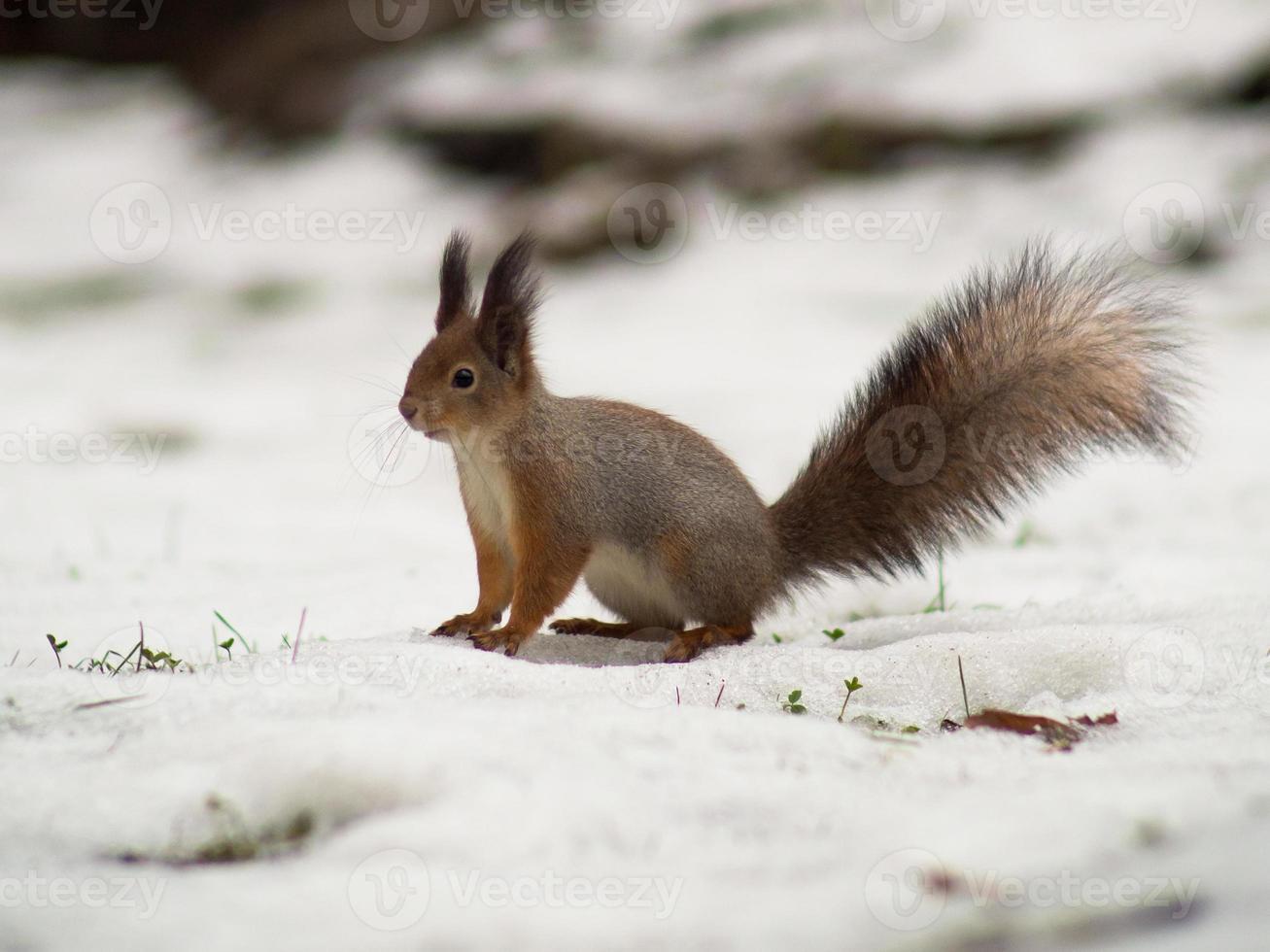 Eichhörnchen mit buschigem Schwanz sitzt auf dem Boden foto