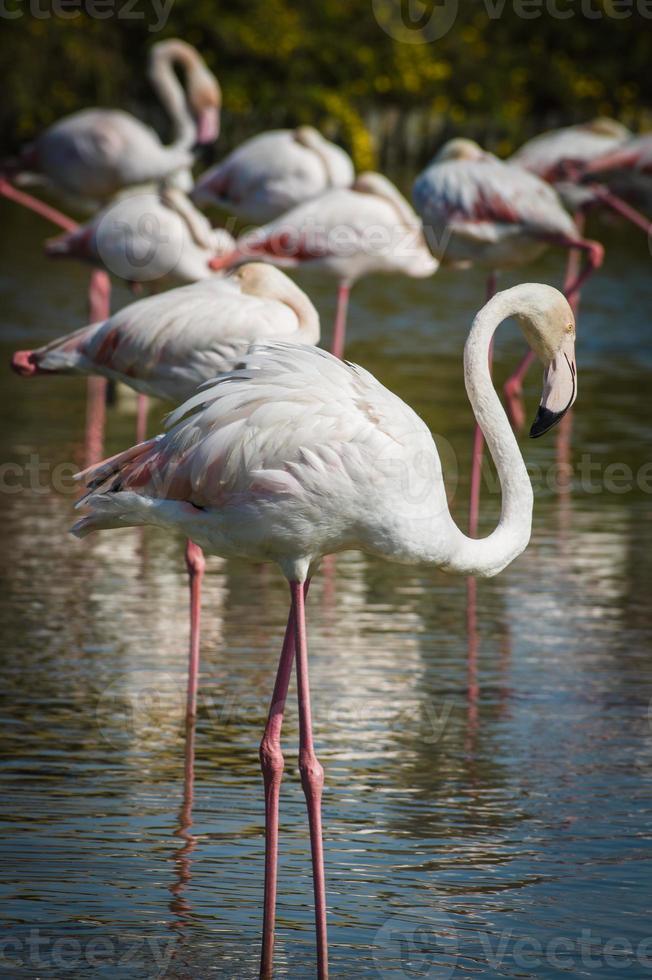 rosa flamingo (phoenicopterus ruber) in camargue, frankreich foto