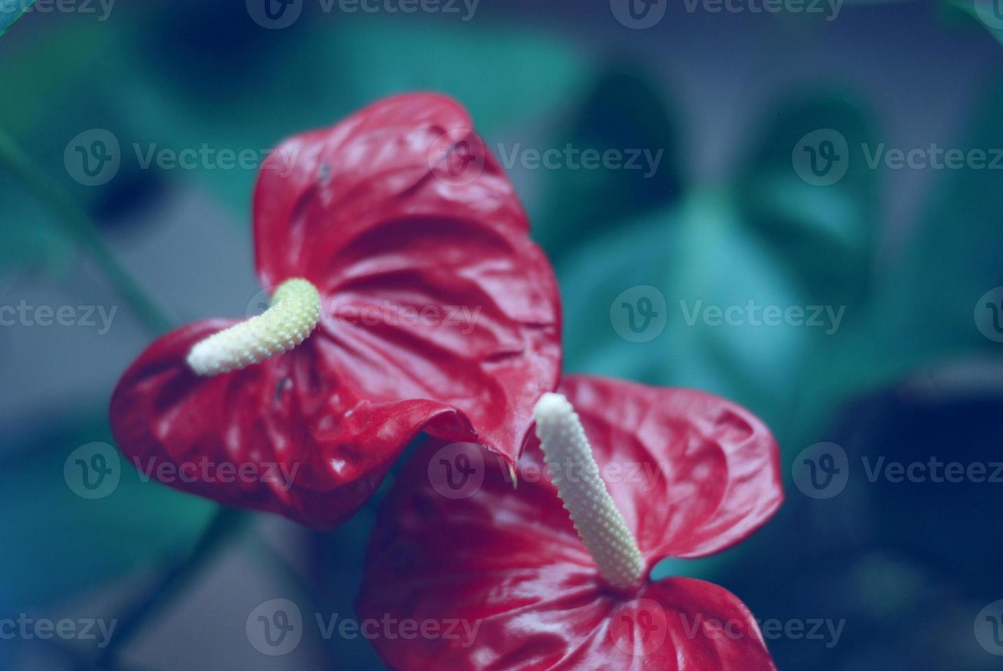 verblasste Anthurium andreanum Nahaufnahme foto