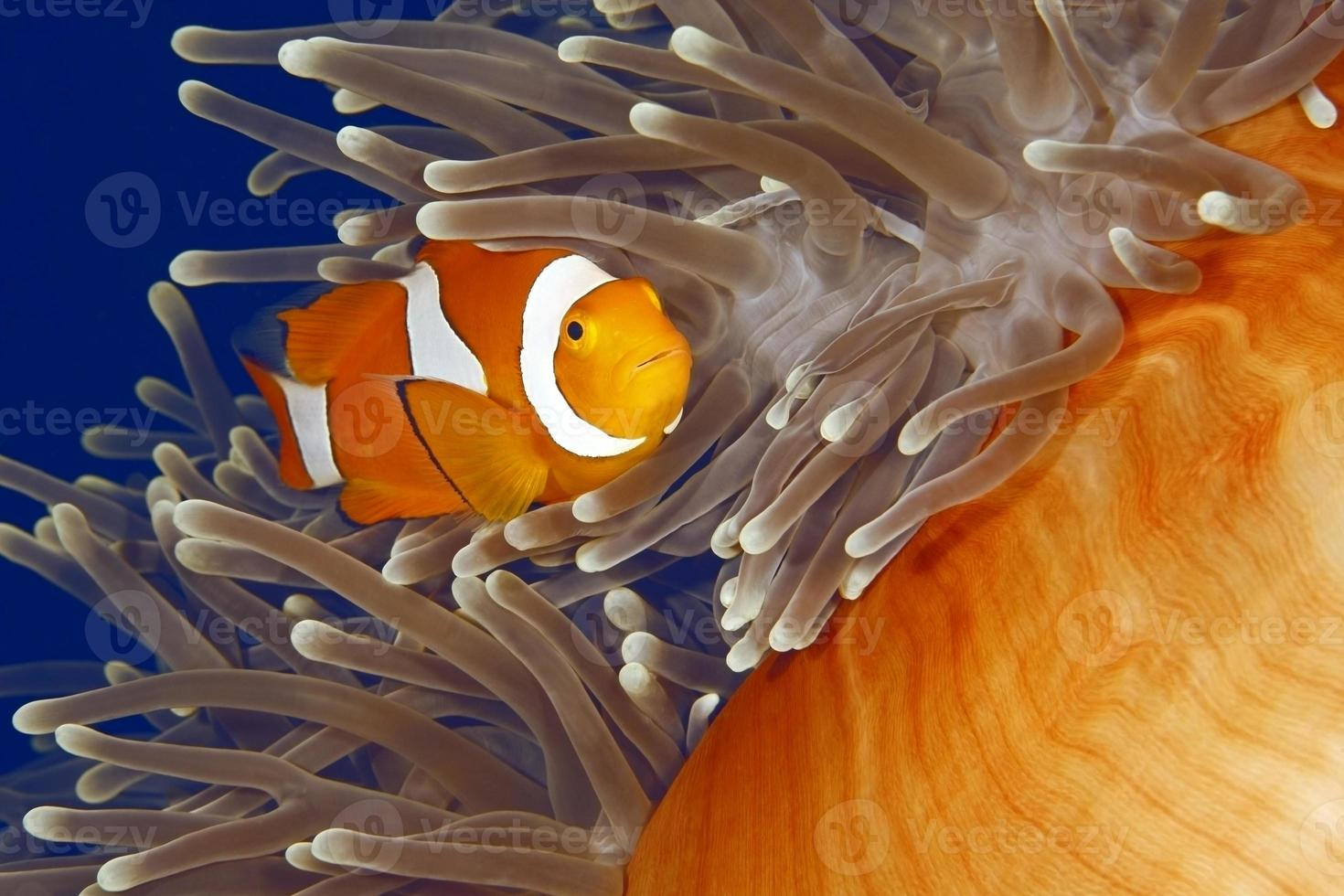 Clown Anemonenfisch foto