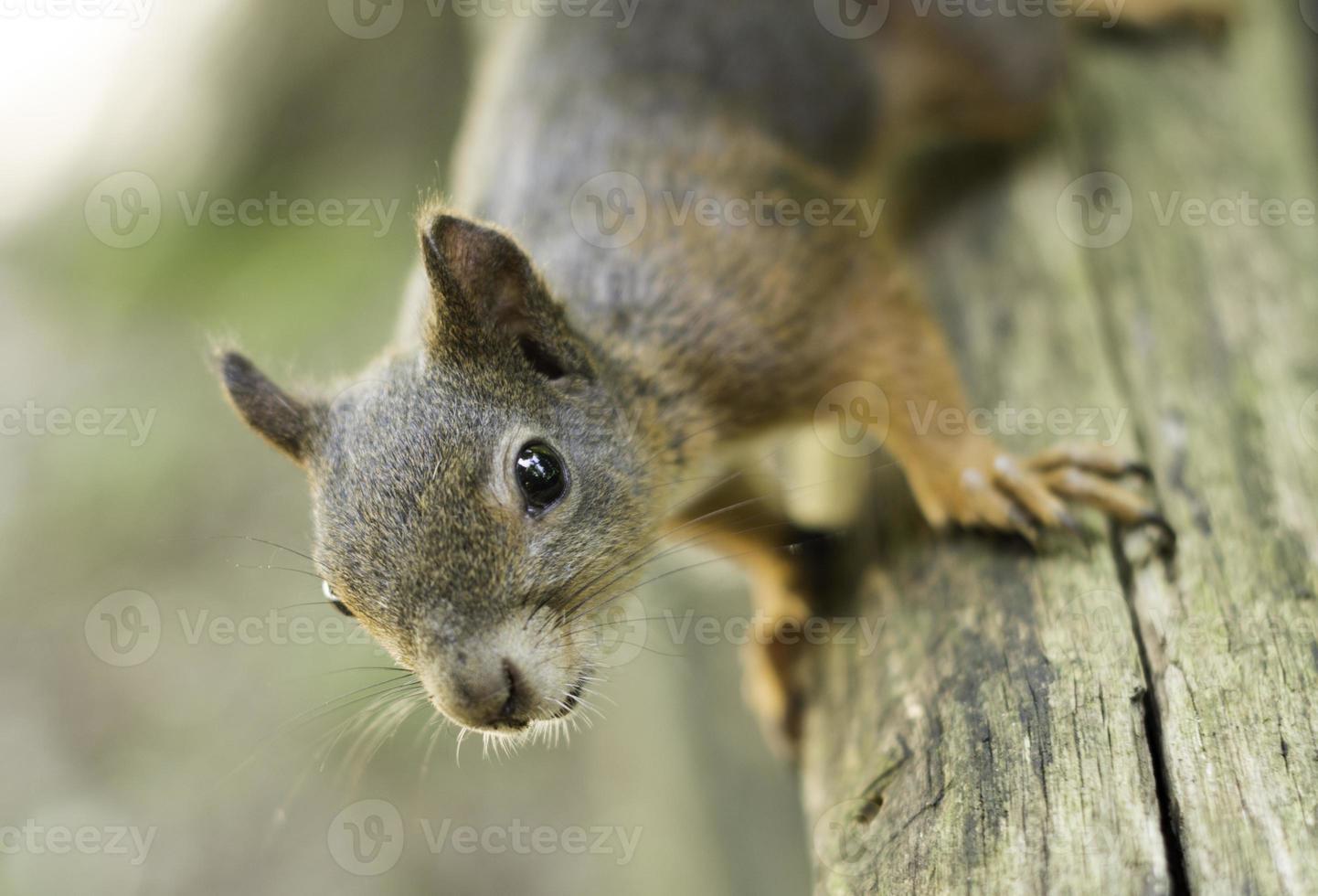 Eichhörnchen auf einer Schiene, die die Kamera betrachtet foto