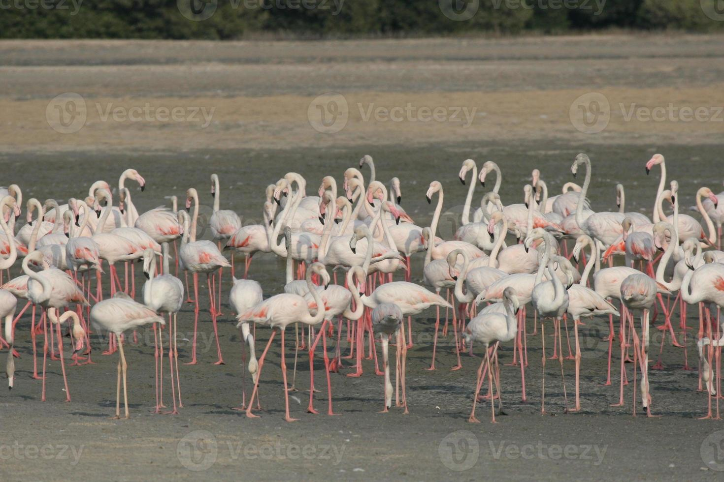 größerer Flamingo (phoenicopterus roseus) foto