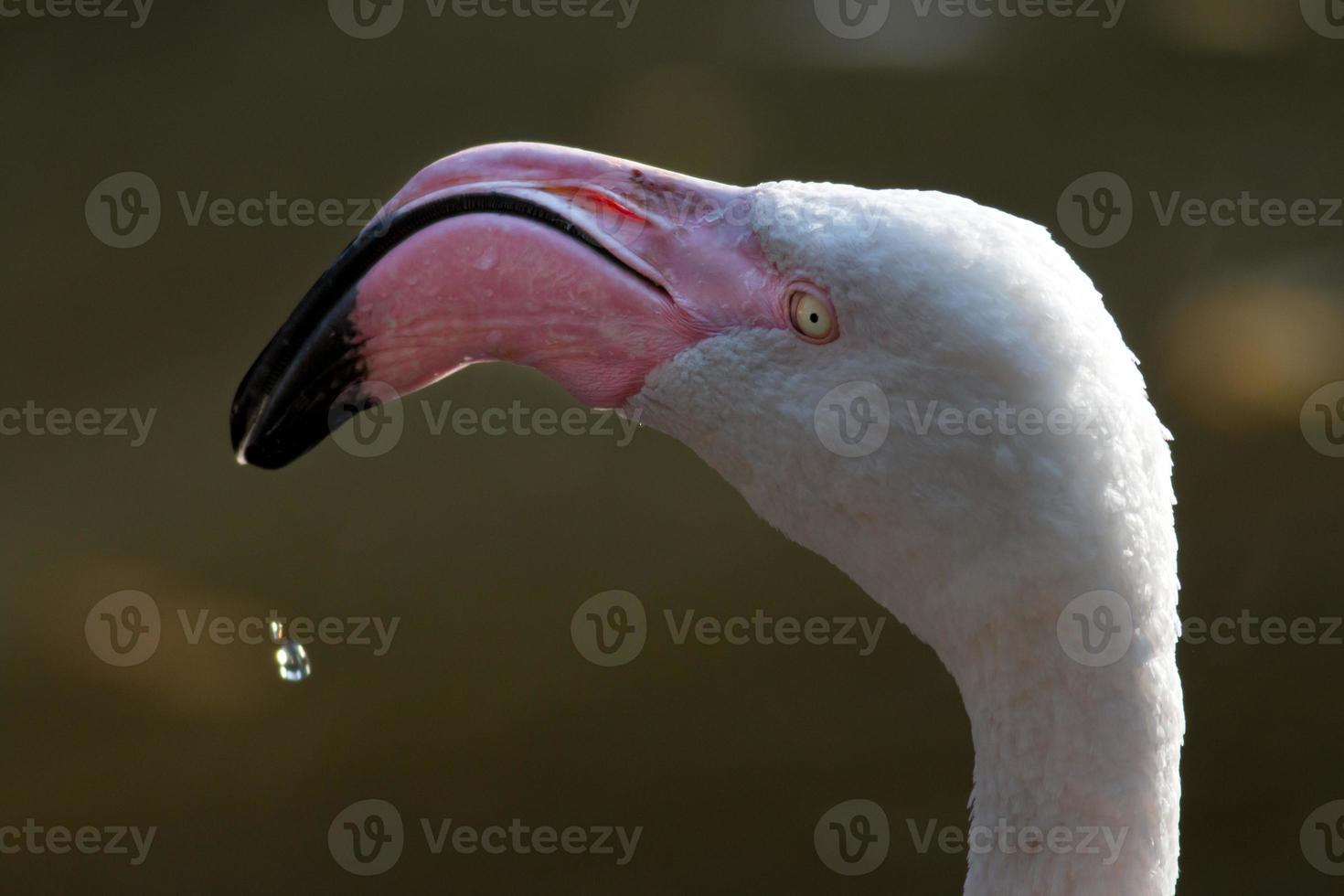 amerikanischer oder karibischer Flamingo foto