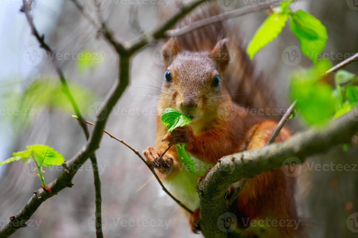 Eichhörnchen frisst ein Blatt des Baumes. foto