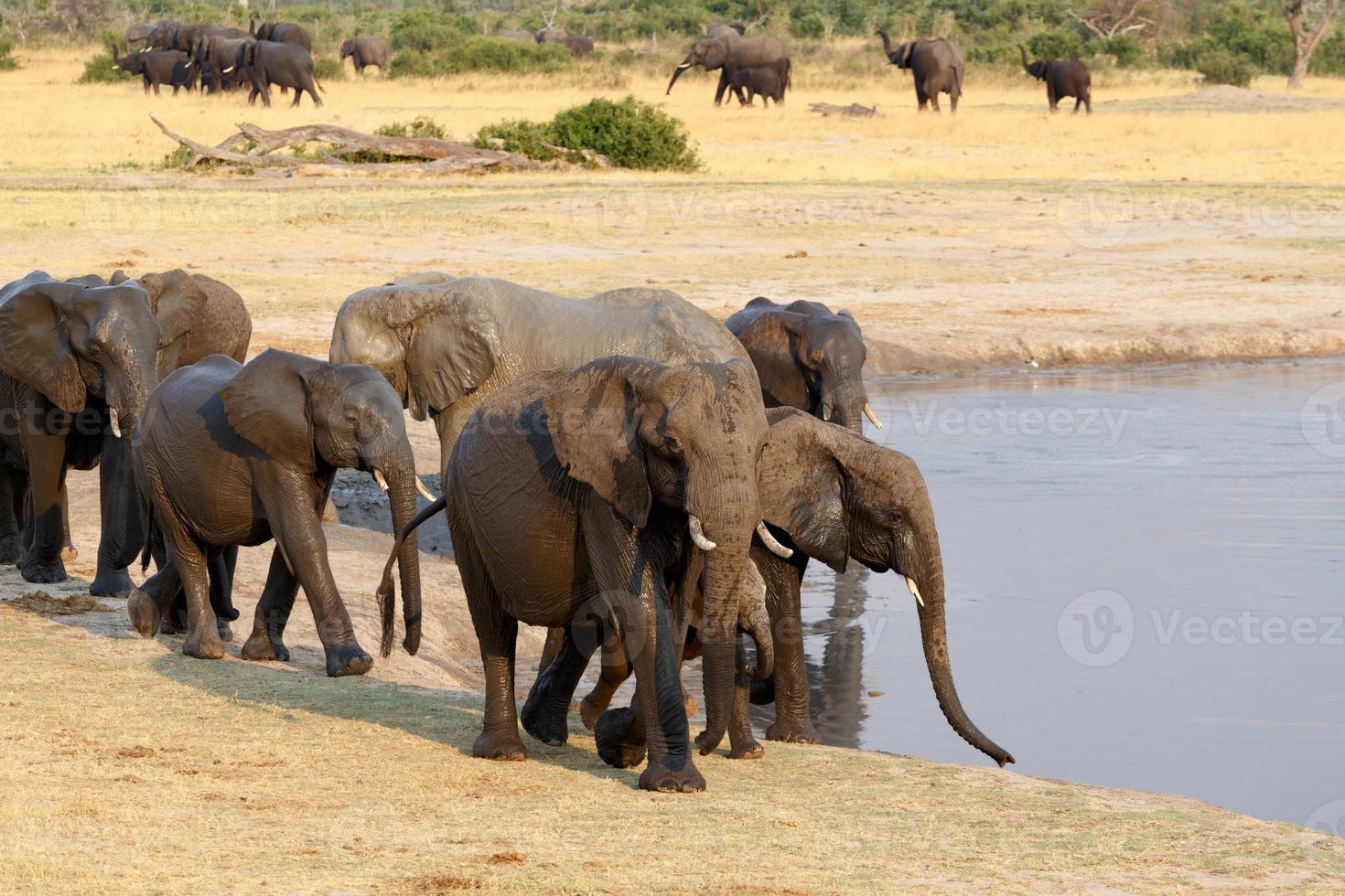 Herde afrikanischer Elefanten, die an einem schlammigen Wasserloch trinken foto