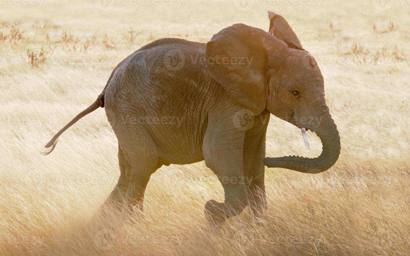 Elefantenbaby läuft durch Gräser der Massai Mara foto