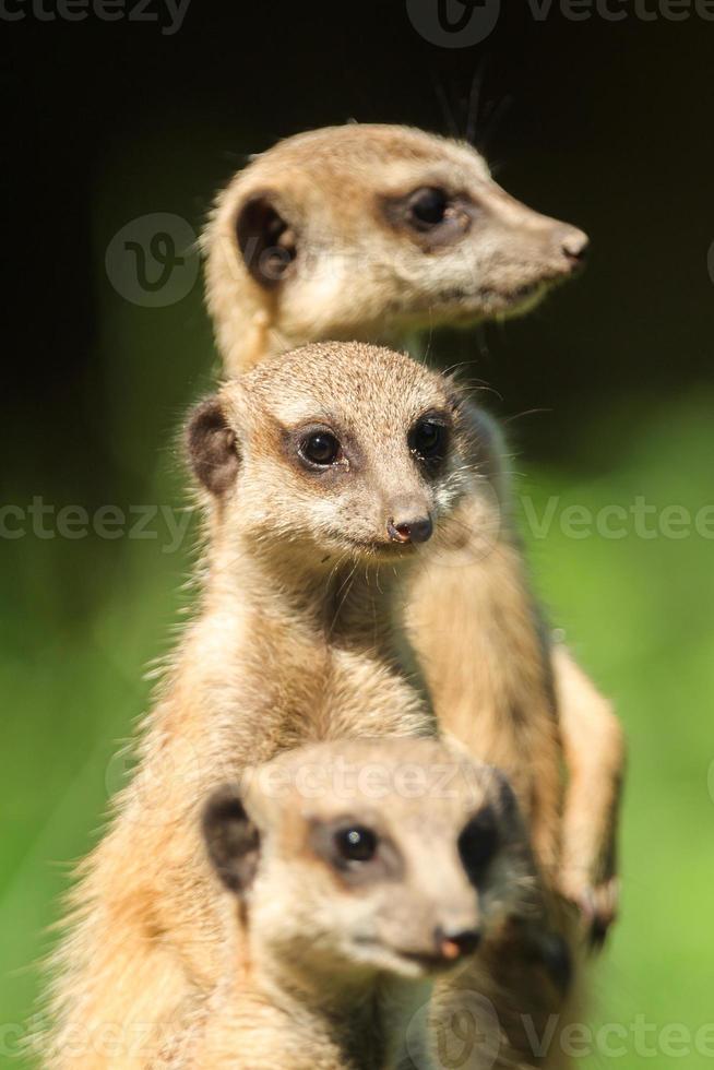 Erdmännchen (suricata suricatta) foto