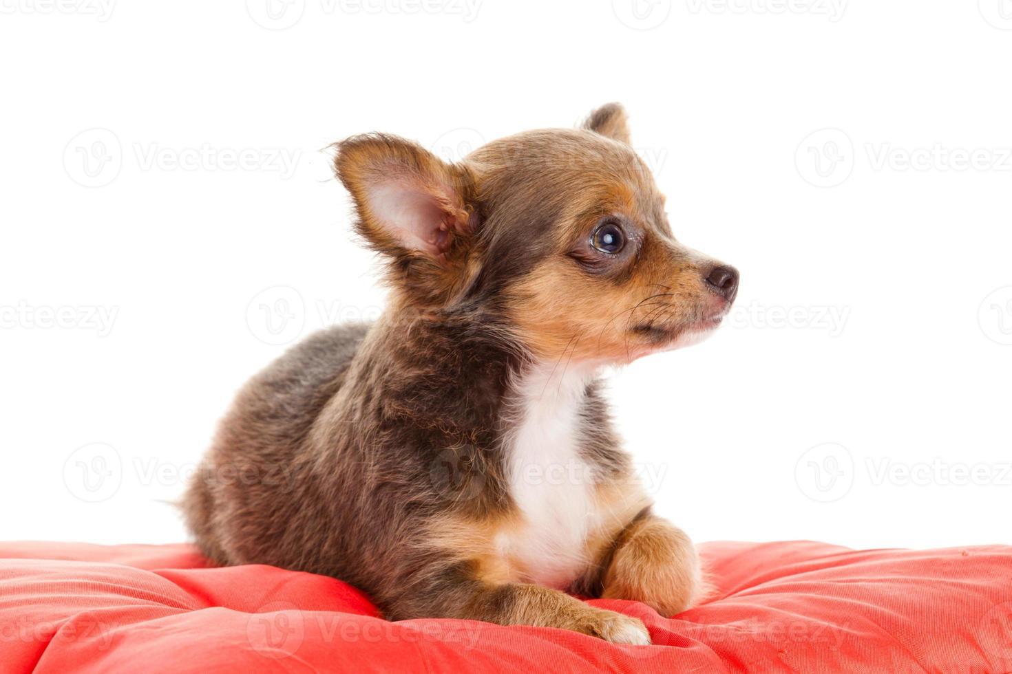 Chihuahua Hund auf rotem Kissen foto
