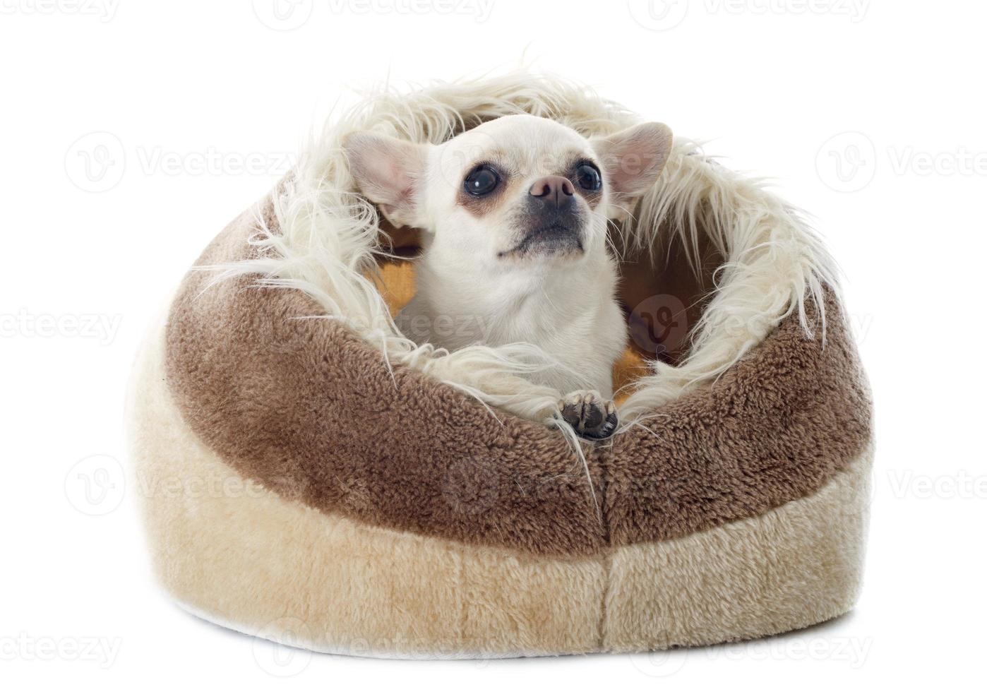 Chihuahua im Kissen foto