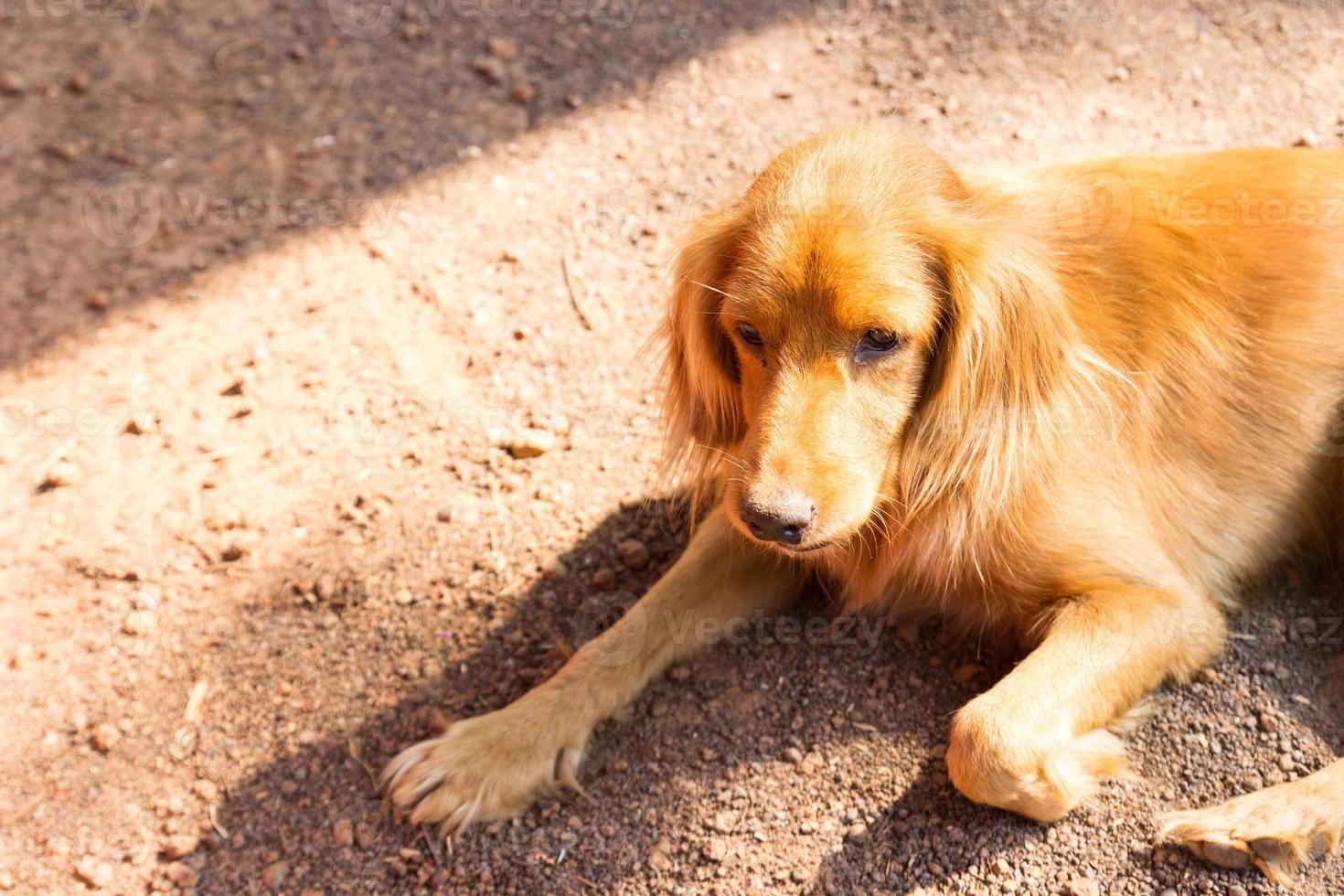brauner Hund liegt auf dem Boden foto
