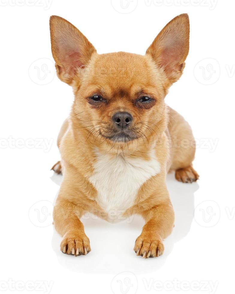 Chihuahua-Hund lokalisiert auf weißem Hintergrund. foto