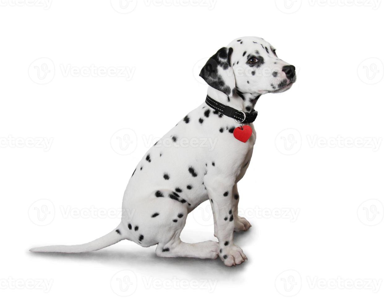 süßer dalmatinischer Welpe foto