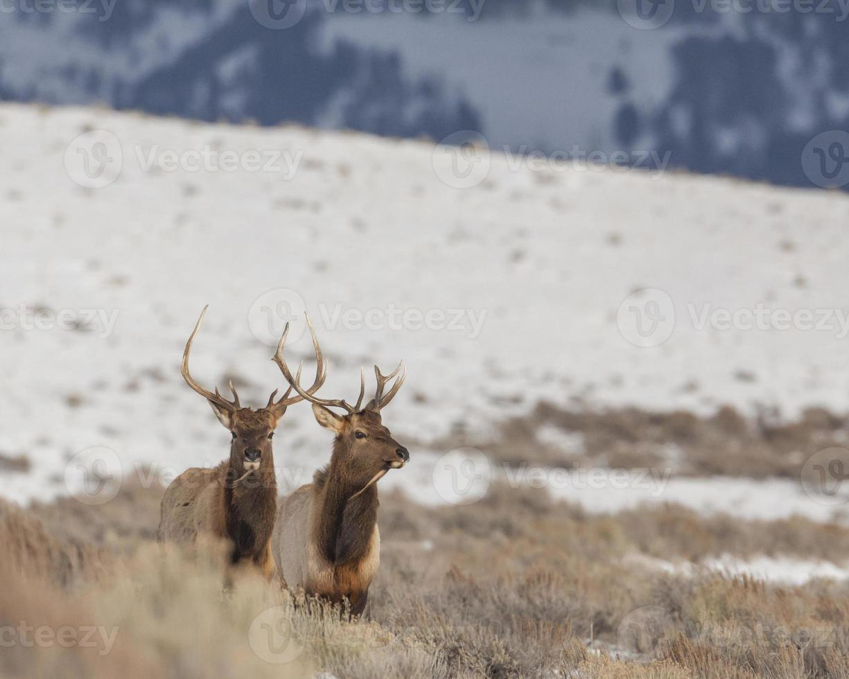 Paar Bullenelche im Winter foto