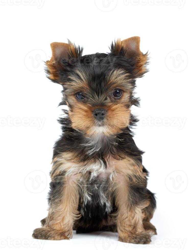 kleiner Yorkshire Terrier foto