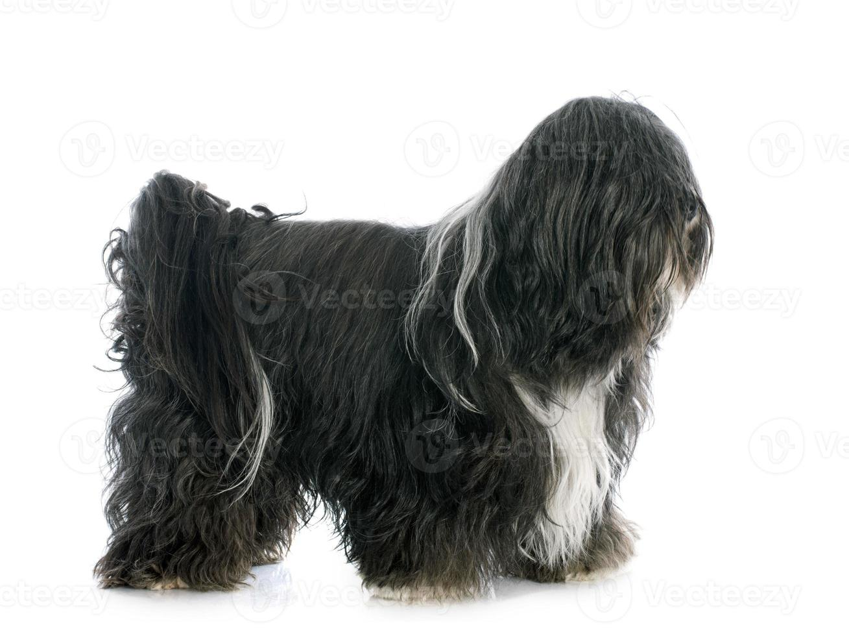 tibetischer Terrier foto