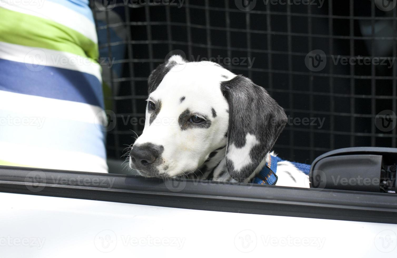 junger Dalmatiner, der im Kofferraum sitzt foto