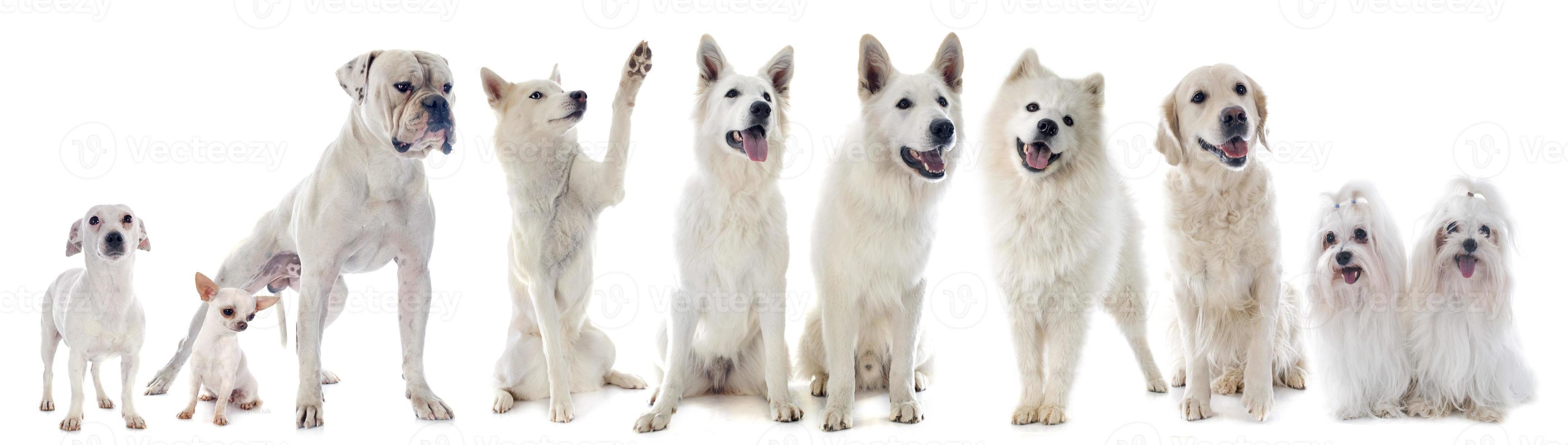 weiße Hunde foto