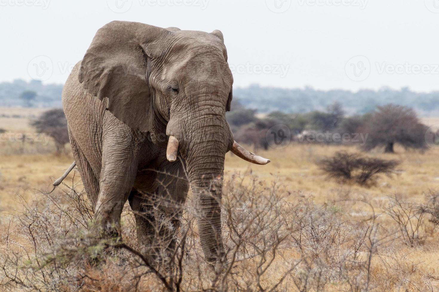 große afrikanische elefanten auf etosha nationalpark foto