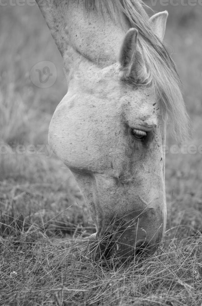 grasendes pferd foto