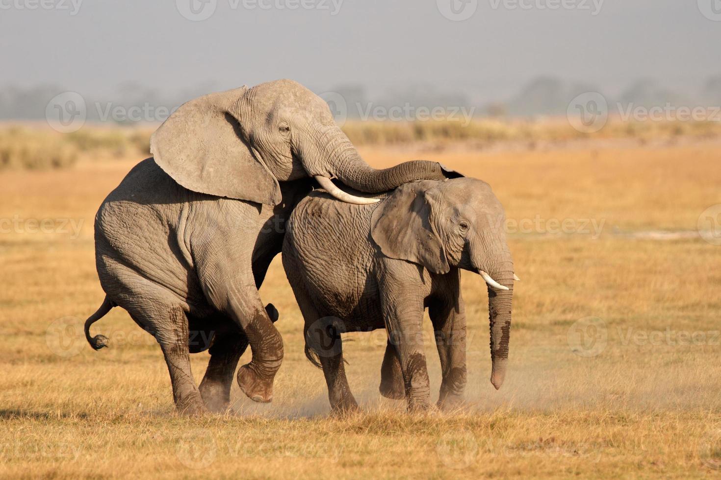 Paarung afrikanischer Elefanten foto