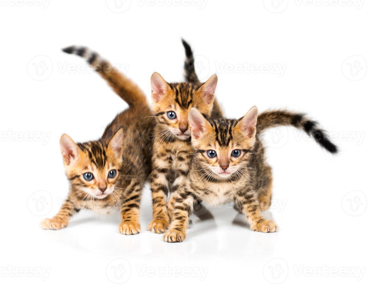 drei bengalisches Kätzchen auf weißem Hintergrund foto