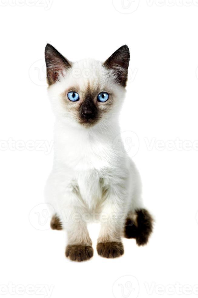reinrassige siamesische Katze auf weißem Hintergrund foto