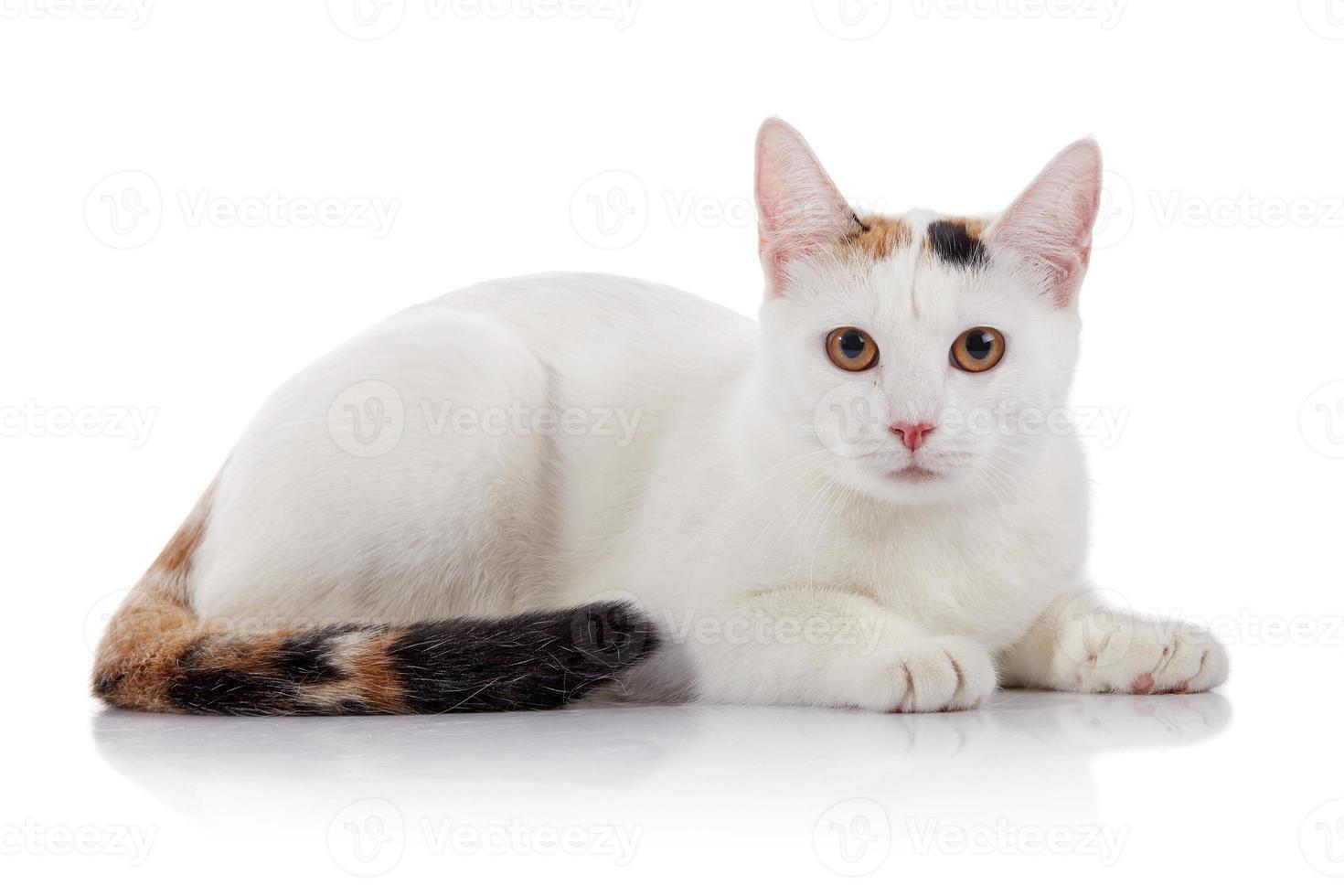 weiße Hauskatze mit einem mehrfarbig gestreiften Schwanz foto