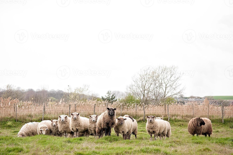 Schafe mit einem Anführer foto