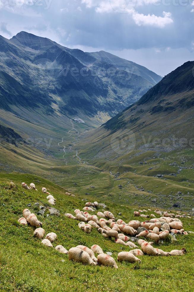 Schafe auf dem Berg foto
