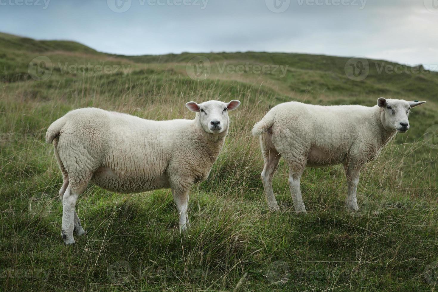 Schafe, die auf einem Hügel grasen foto