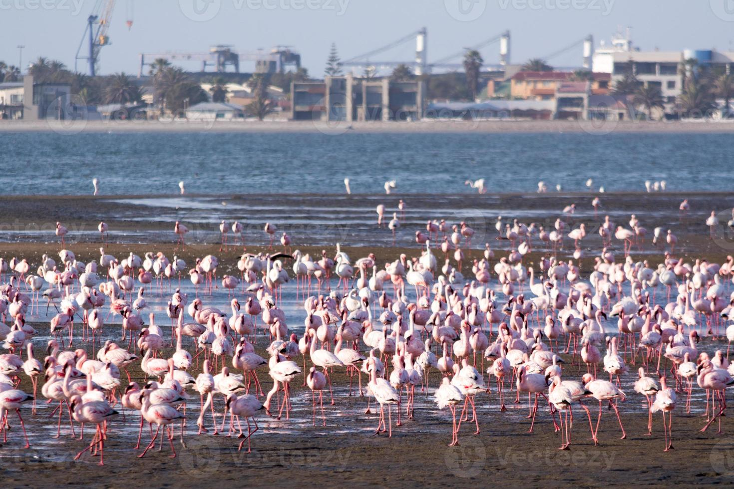 Flamingos in der Swakopmund Bucht foto