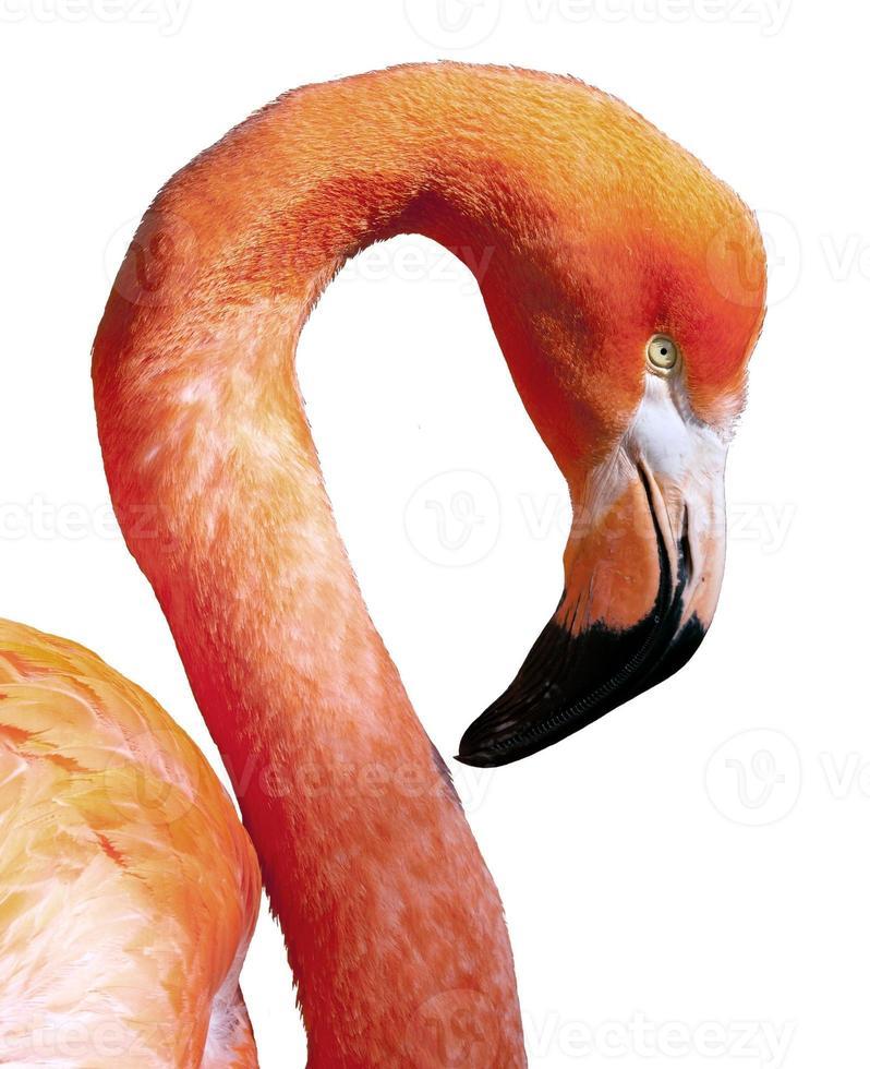 amerikanischer flamingo - phoenicopterus ruber - schöner roter vogel foto