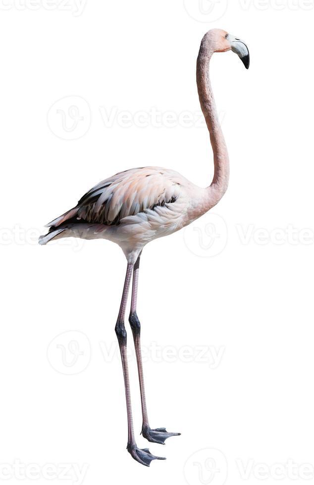 stehender Flamingo. isoliert über weiß foto