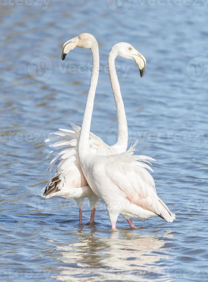 phoenicopterus ruber, größerer Flamingo foto