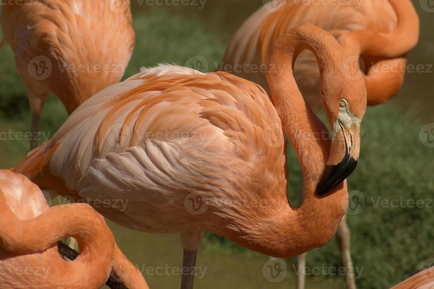 Flamingo in der Menge foto