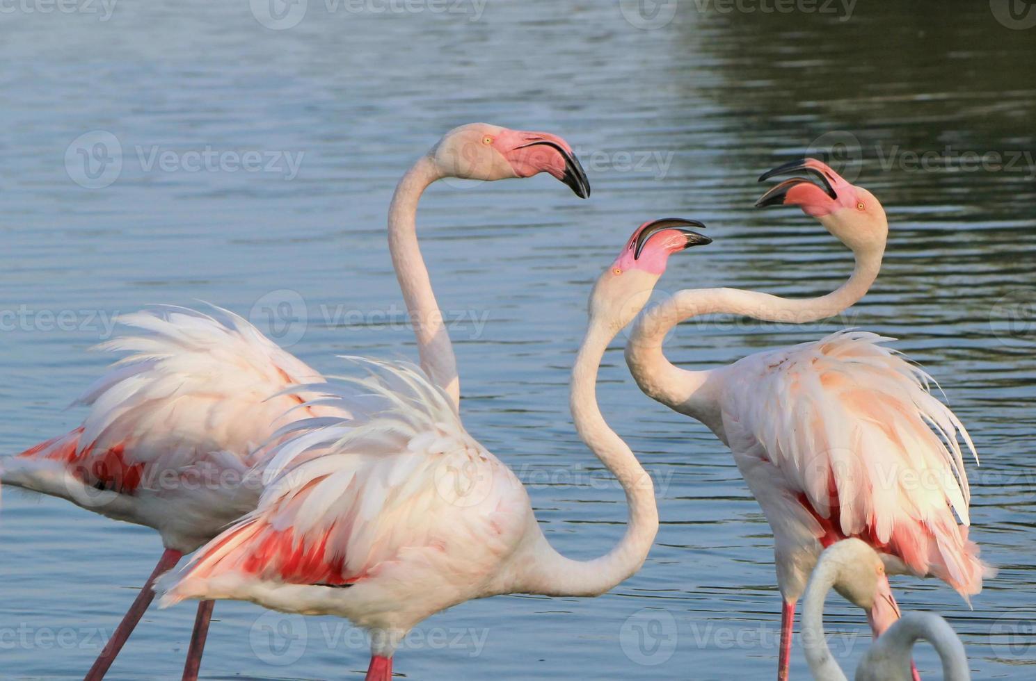 Flamingos kämpfen foto