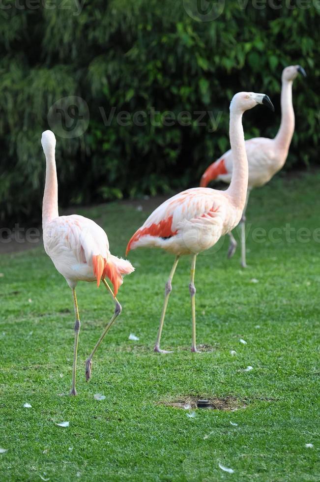 rosa erwachsener Flamingo foto