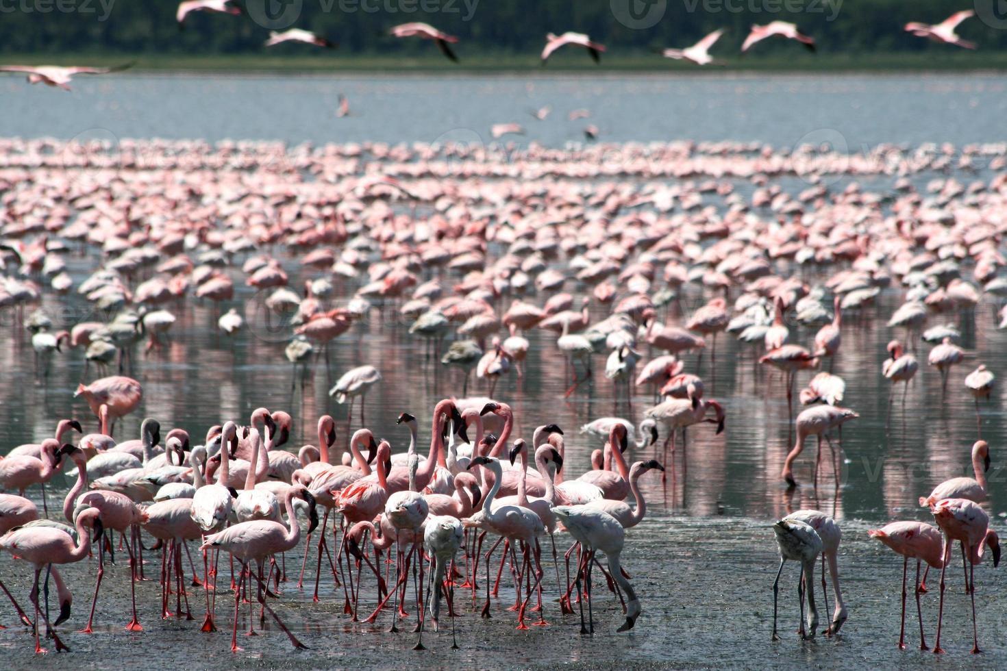 Flamingos in Afrika foto
