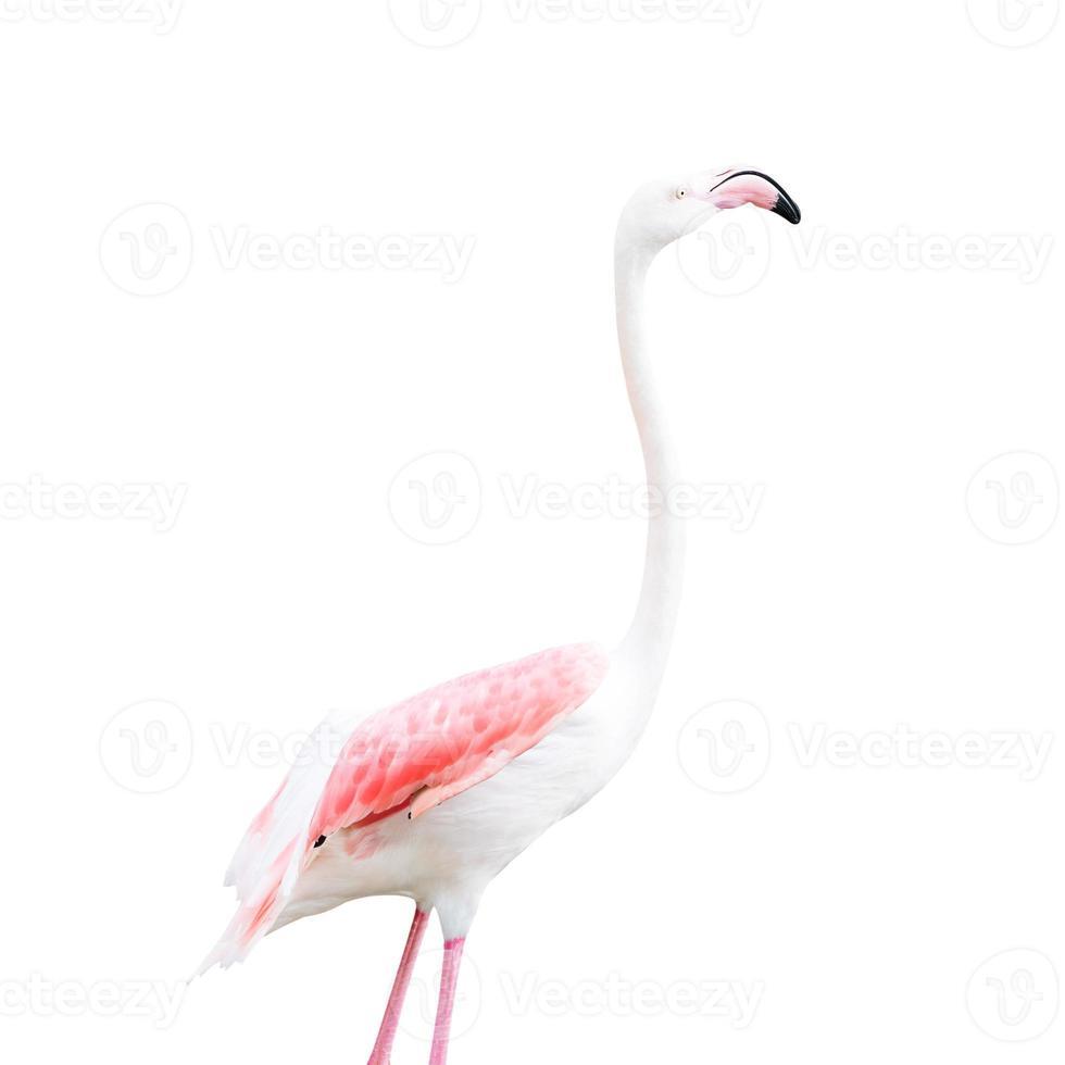 Flamingo lokalisiert auf weißem Hintergrund. Dies hat einen Beschneidungspfad. foto