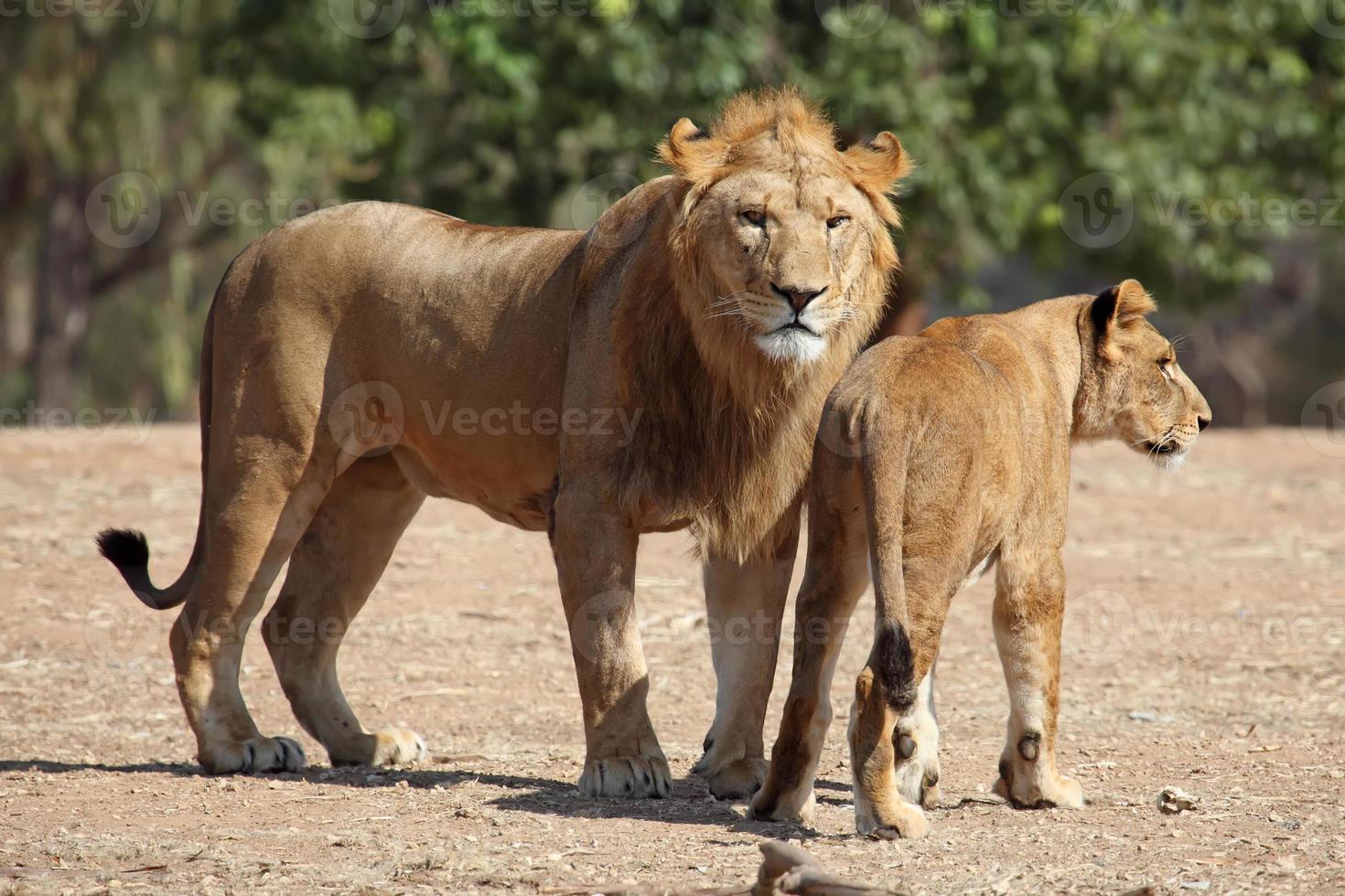 Löwe und Löwin foto