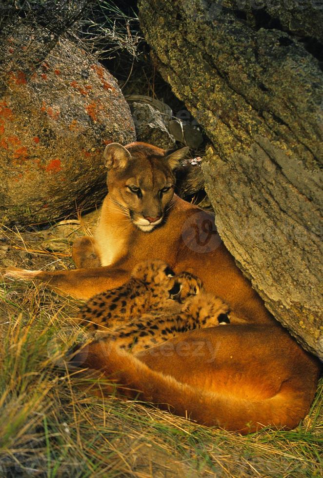weiblicher Berglöwe und Kätzchen in Höhle foto