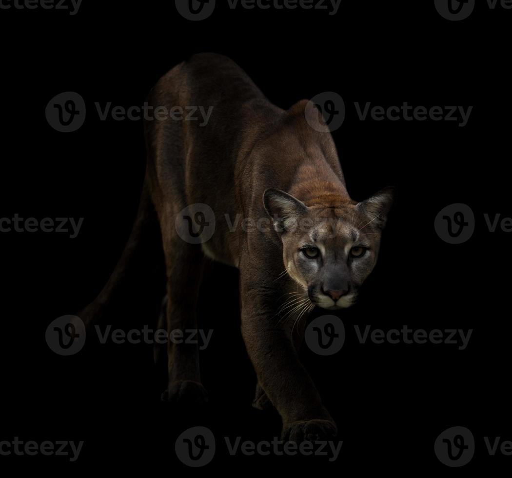 Puma im Dunkeln foto