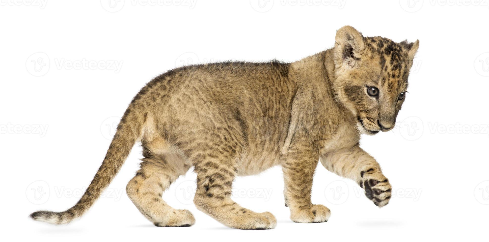 Löwenbaby stehend, scharrend, 7 Wochen alt, isoliert foto