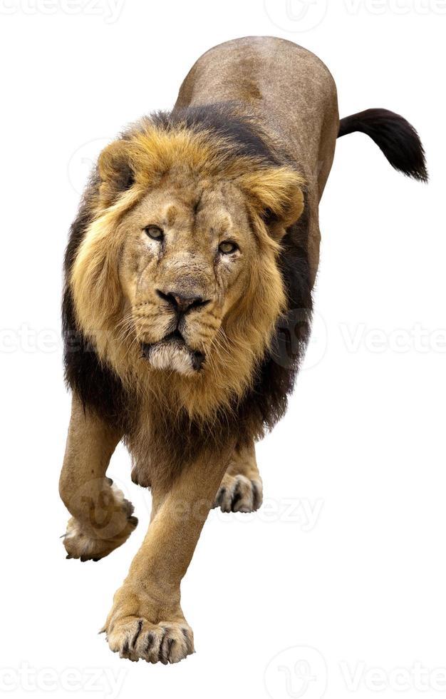 asiatischer Löwe, Pantera Leo Persica foto