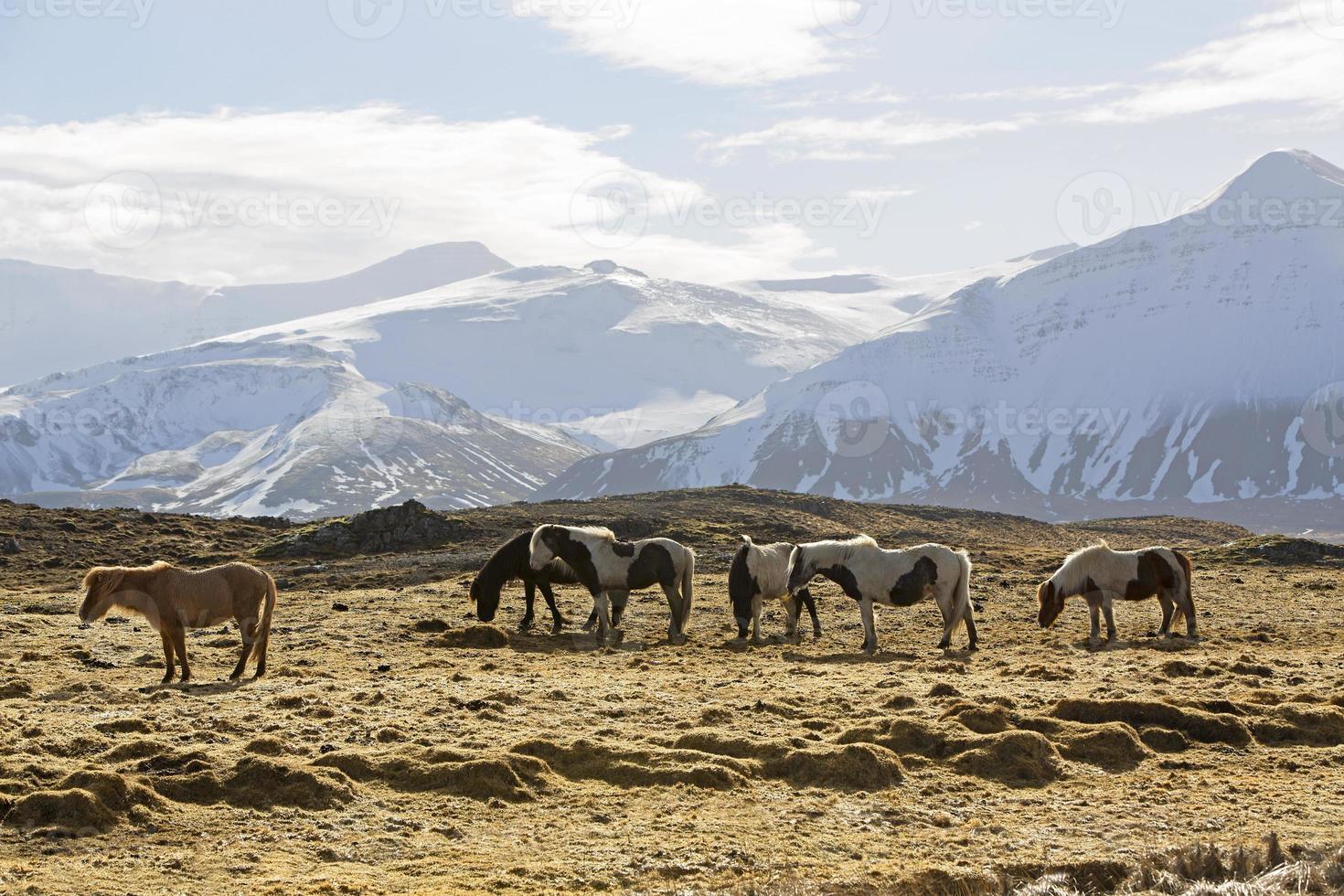 Herde von Islandpferden vor schneebedeckten Bergen foto
