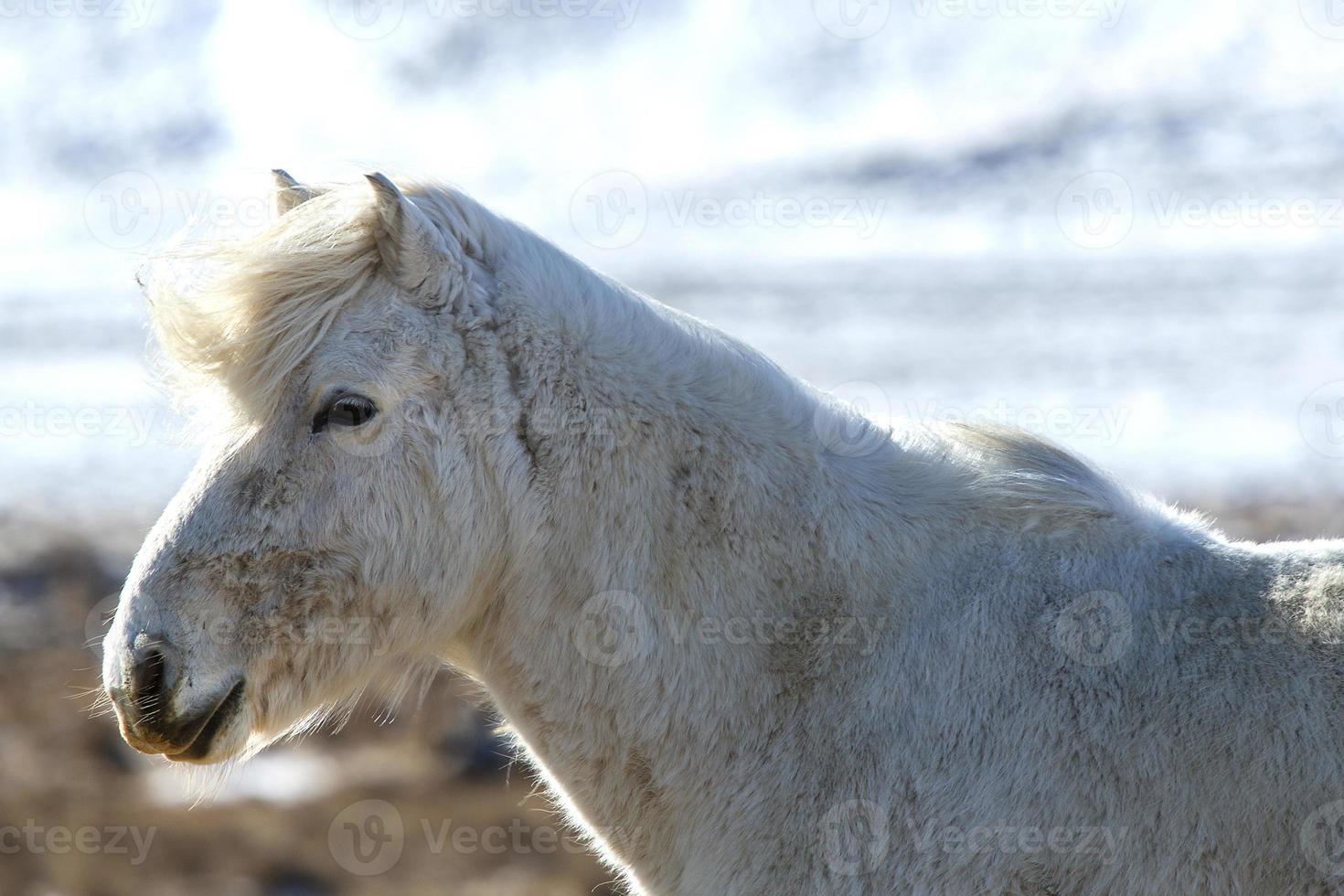 Porträt eines weißen Islandpferdes in der Winterlandschaft foto