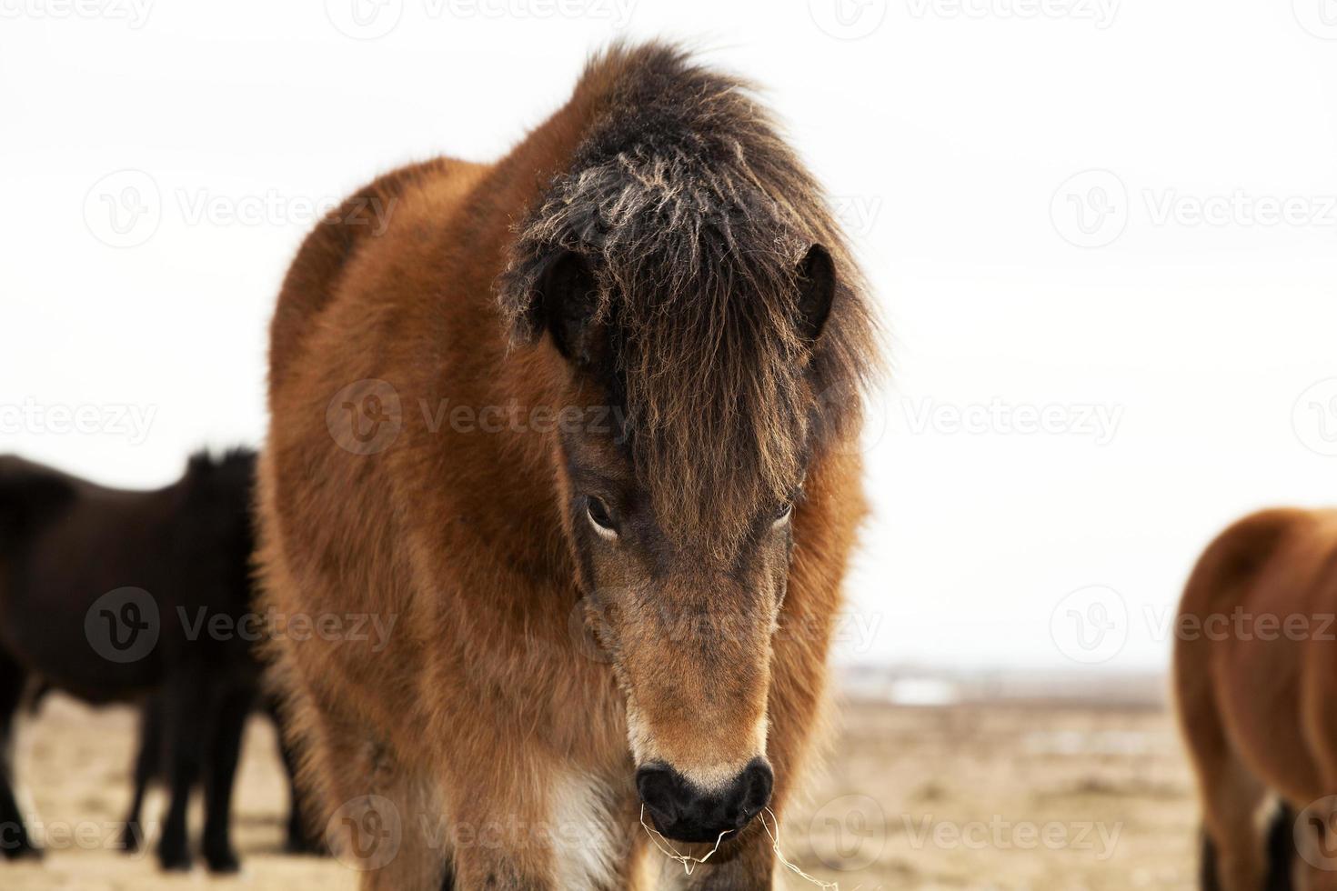 Porträt eines isländischen Ponys mit einer braunen Mähne foto