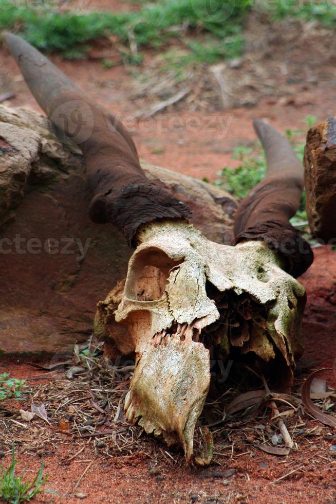 Antilopenschädel foto