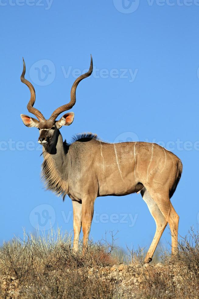 Kudu-Antilope foto
