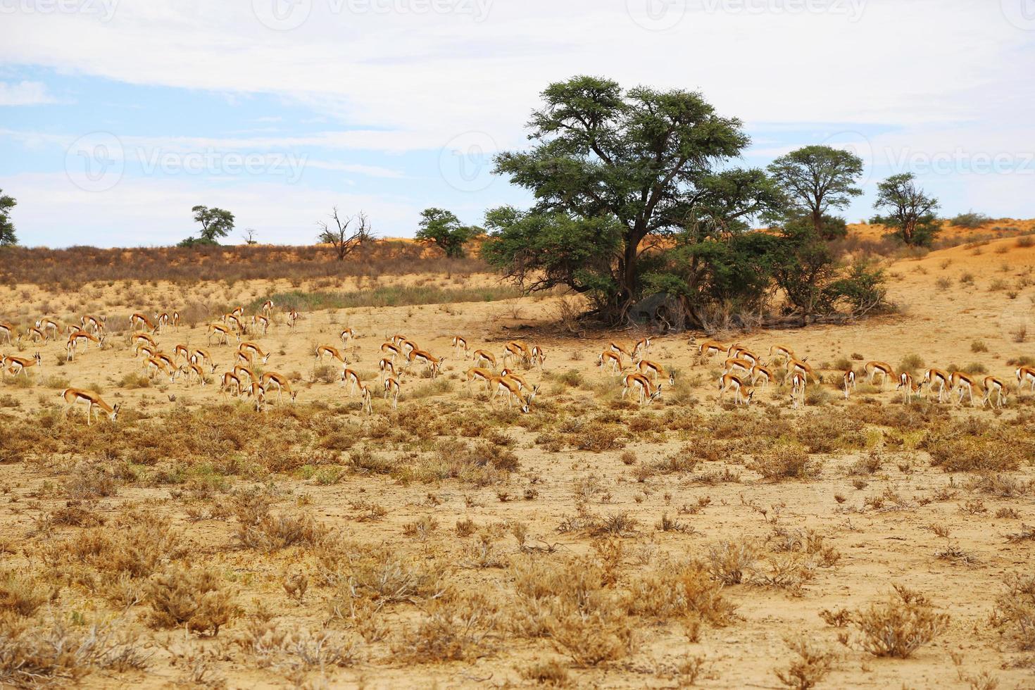 Antilopenherde in der Wüste foto
